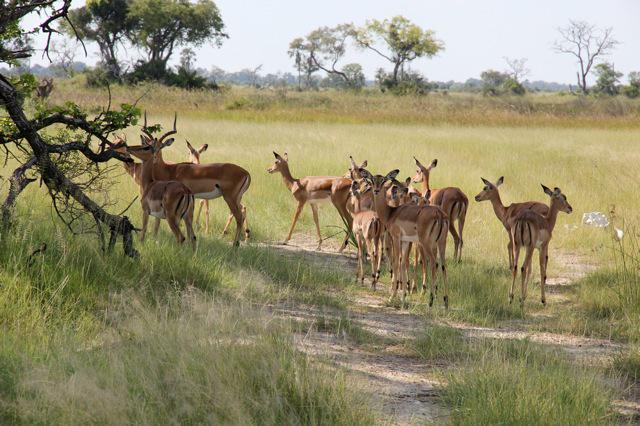 2011-05-27 Botswana safari Gaseller