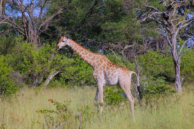 2011-05-27 Botswana safari Sjiraff