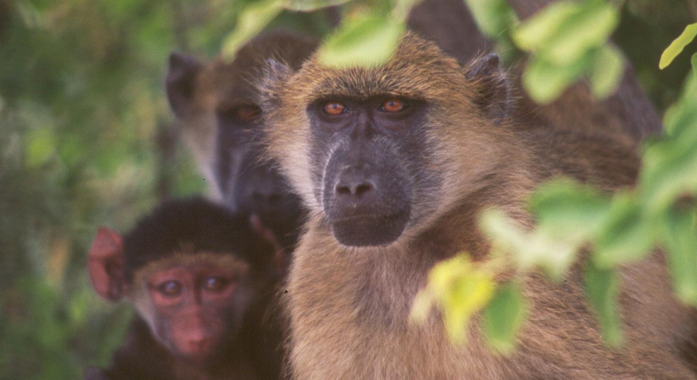 Chobe Baboons 0506