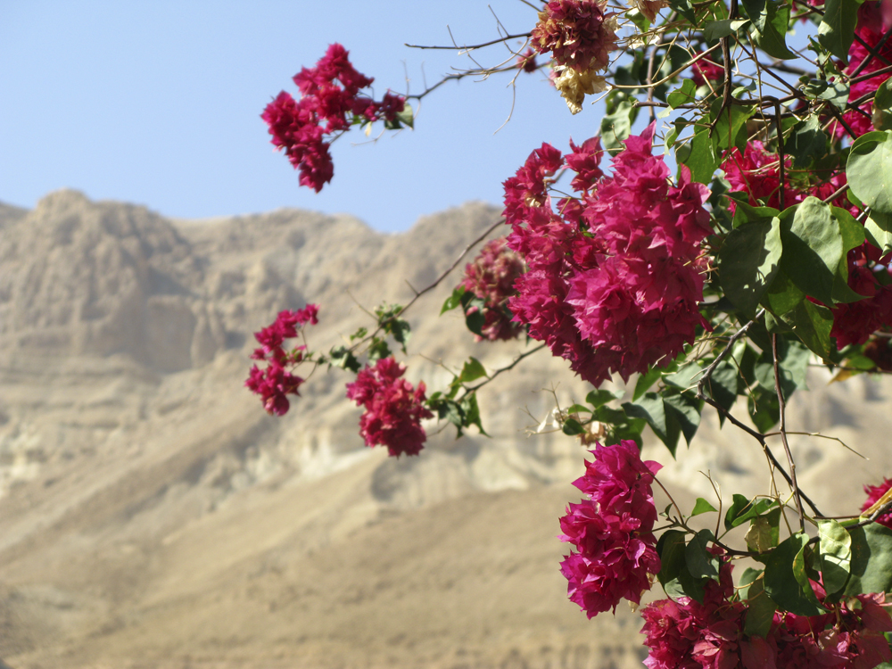 Israel Dødehavet 0802 Blomster