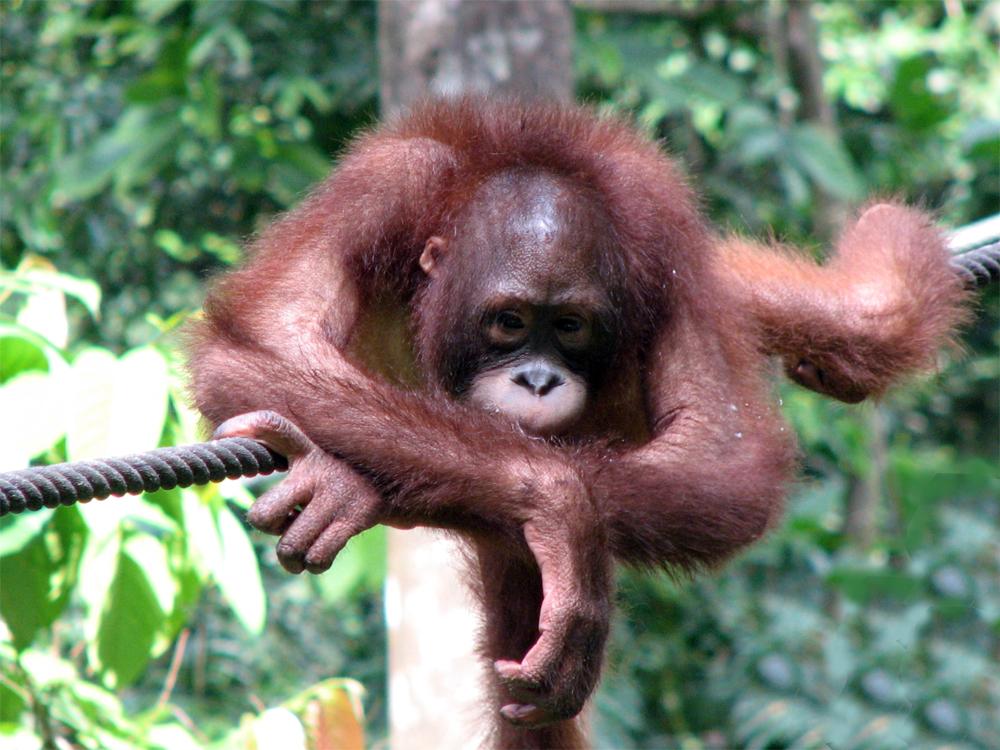 Malaysia Borneo Orangutang 0812 En orangutang