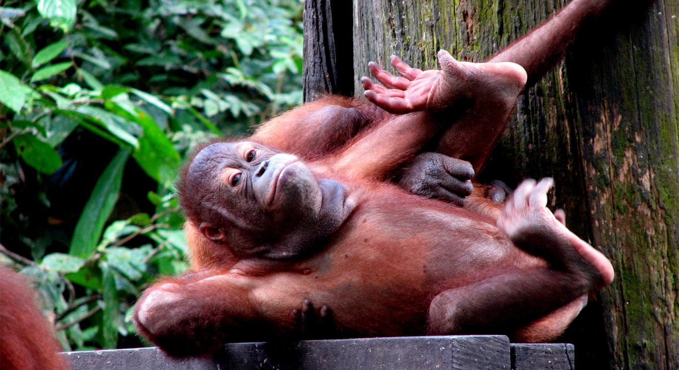 Malaysia Borneo Orangutang 0812 Hoved