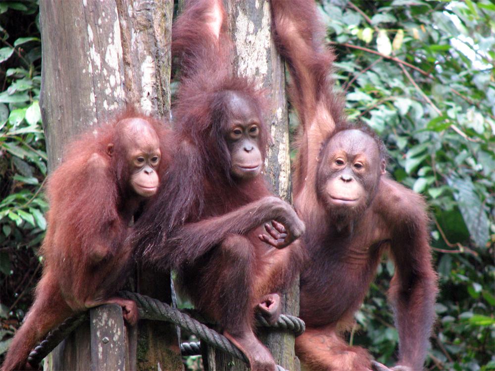 Malaysia Borneo Orangutang 0812 Tre orangutanger