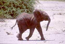 På safari i Chobe nasjonalpark 2