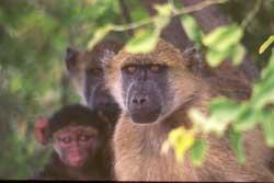 På safari i Chobe nasjonalpark 4