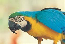 Papegøye ser mot venstre 0203