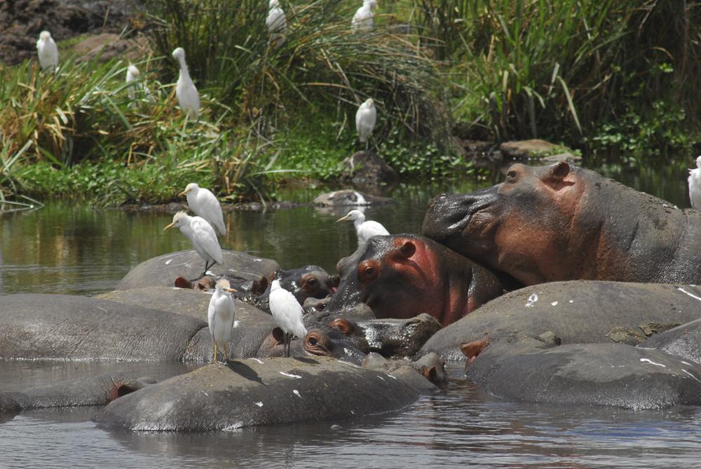 Tanzania Fotosafari 0801 Flodhester