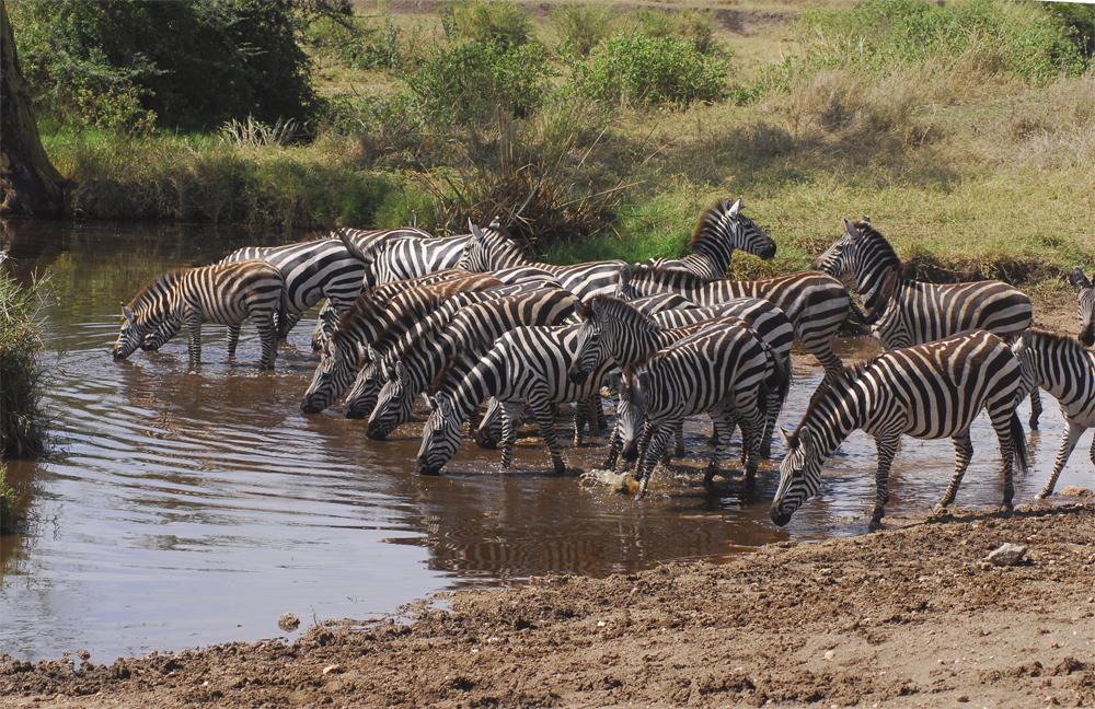Tanzania Fotosafari 0801 Sebra