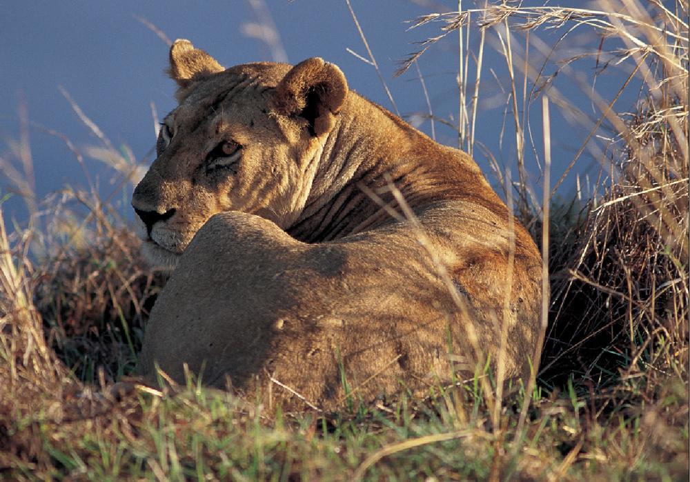 Tanzania Ngorongoro 0705 Løve