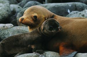 Sjøløver i Galapagos.
