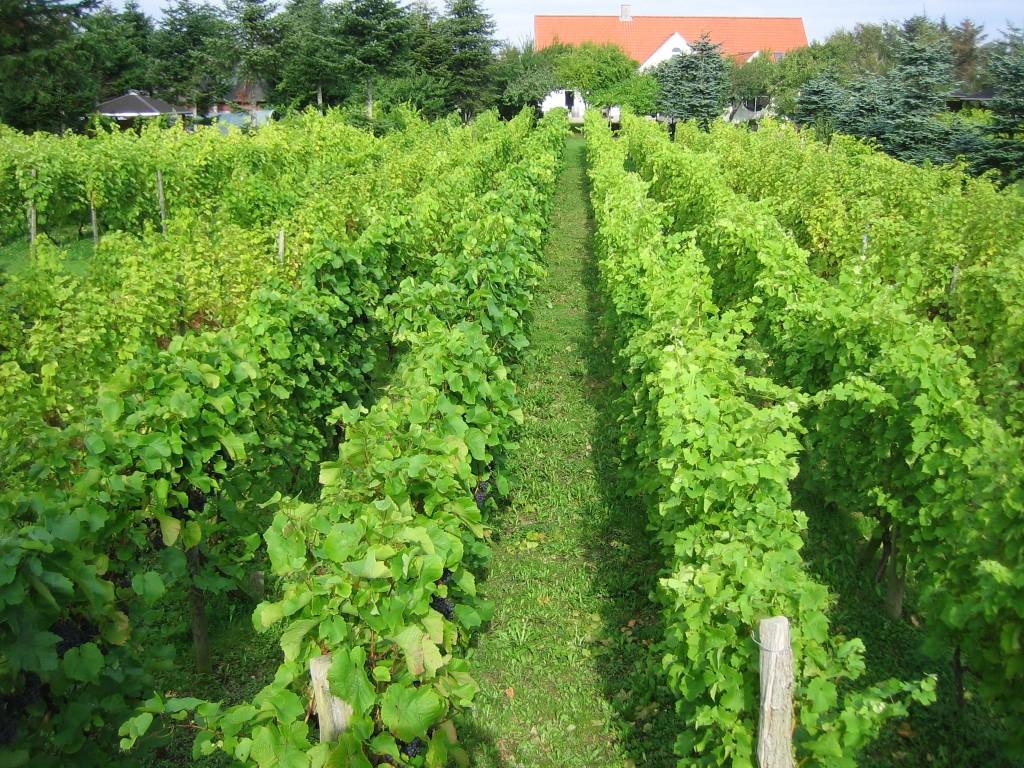 Danmark: Druestokker fra Glenholm Vingård. Druene modnes i løpet av sommeren, og høstes for hånd i oktober.