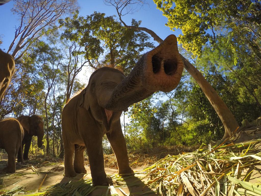 Elefanten Ellie blåser med snabelen. Foto: Josiah Klakulak