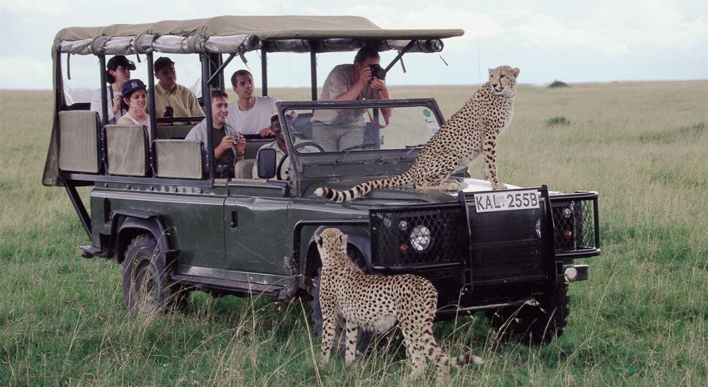 Nærkontakt med gepard. Her er fotomulighetene store og modellene villige.