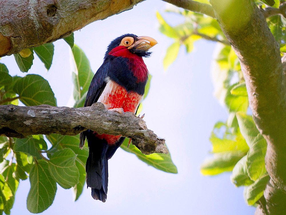 Svartbelteskjeggfugl (Lybius dubius) også en fugl som gir økt puls når den dukker opp foran en fugletitter.