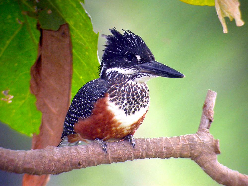 Kjempeisfugl (Megaceryle maxima), en spennende fugl å få i kikkerten eller fotoobjektivet.